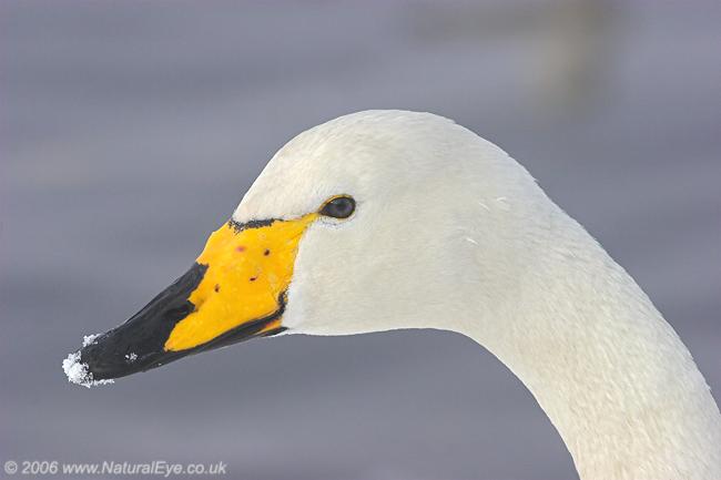 Whooper Swan, Martin Mere, UK