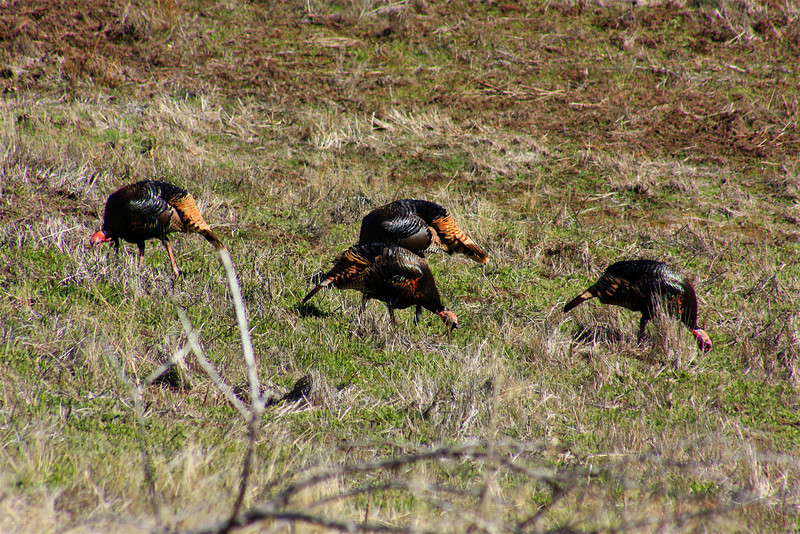 Four Wild Turkeys (Meleagris gallopavo)