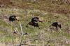 Four Wild Turkeys (Meleagris gallopavo)