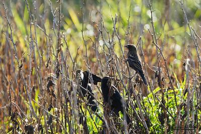 Red-winged Blackbird (Agelaius phoeniceus), immature male.   Красноплечий чёрный трупиал.