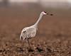 Sandhill crane in a muddy field, Sacramento valley
