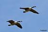 Flock adult Canada geese in flight.