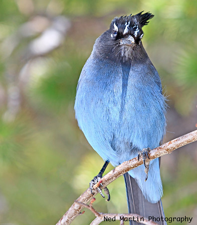 Stellar Jay at Bear Lake in Rocky Mountain National Park