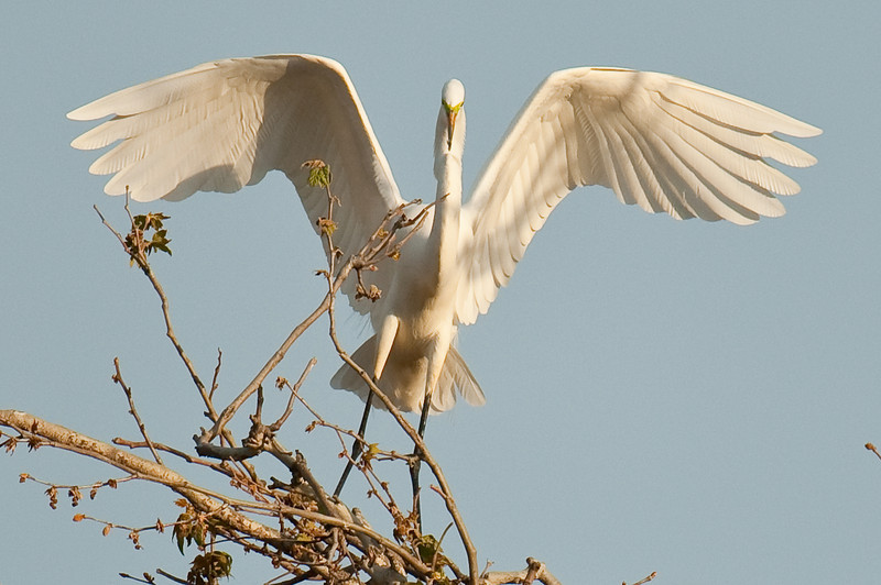 Great Egret on the Lower Yuba River
