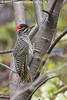 Cardinal Woodpecker, Lewa Wildlife Conservancy, Kenya