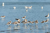American Avocets, Mono Lake