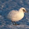 Ivory gull, immature