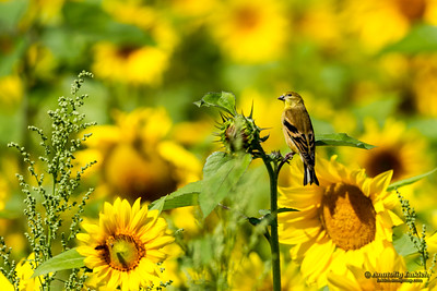 Pine Siskin (Carduelis pinus) perched among Yellow sunflowers.