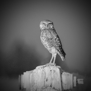 burrowing owl black and white