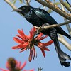 Hairy Crested Drongo