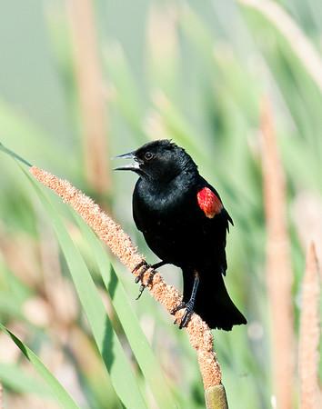 Redwing Blackbird, Yuba County