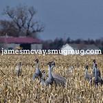 Sand Hill Cranes in the  farm fields of  Kearney, NB