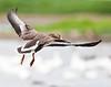 White-fronted goose landing