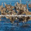 Sandhill Cranes on Platte River
