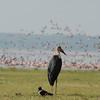 Maribu Stork, Pied Crow, Lesser Flamingo