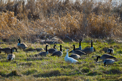 Flock of geese feeding on a ground.