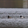 Lesser Scaup, Billington Sea, Plymouth, MA