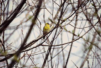 American Goldfinch Seattle, WA