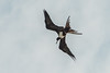 Diving frigate bird