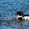 Red breasted Merganser, female and male.