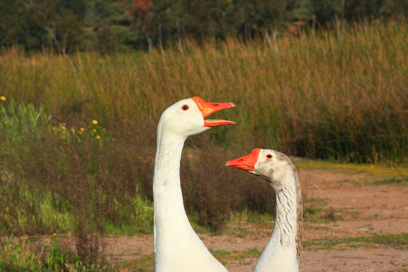 Two Geese (Anatidae)