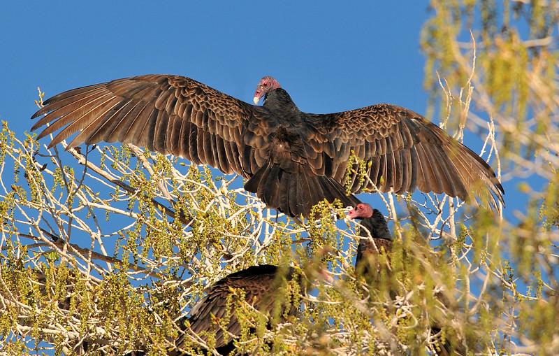 Turkey Vulture at Covington Park, Morongo valley,CA.