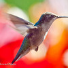 Humming Bird<br /> © 2010 Howard Pitkow. All Rights Reserved.