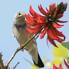 Red Billed Starling