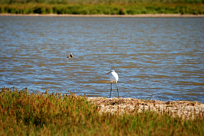 Egret, Corpus Christi, TX