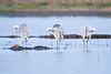 pre-dawn preening trio of sandhill cranes