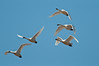 A formation of tundra swans