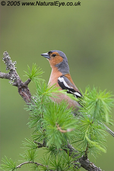 Male Chaffinch perched on fir tree