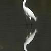 Swinhoe Egret