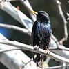 European Starling at Kit Carson Park,Escondido,CA