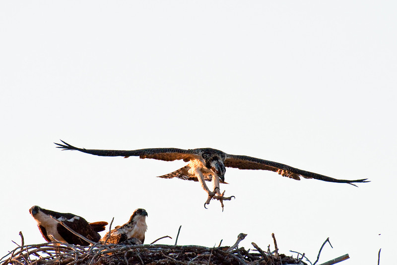 Young osprey taking flight lessons