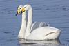 Whooper Swan pair, Martin Mere, UK