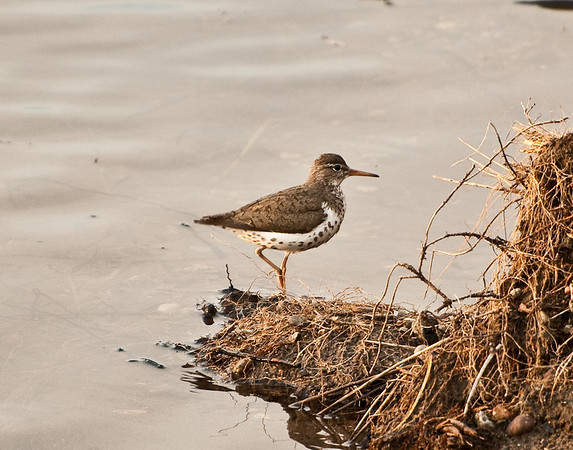 Spotted Sandpiper, Slough Creek in Yellowstone