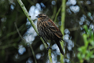 Female Red-Winged Blackbird, Green Lake 2013