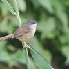 Ruffscent  Prinia I think