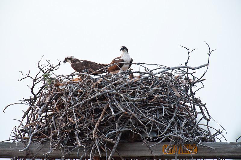 Osprey family of four