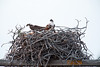 Osprey family of four