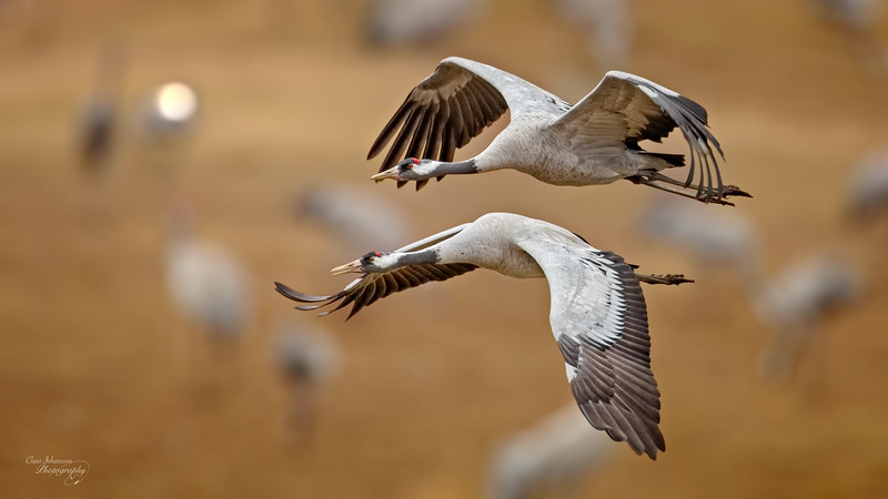 Crane couple over Lake Hornborga