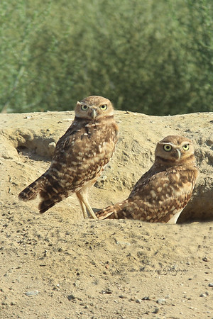 two burrowing owls watching there nest