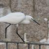 Little Egret from Mui Wo