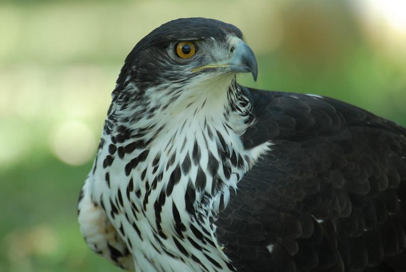 African Hawk Eagle - Hieraaetus spilogaster