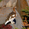 Willow ptarmigan fall plumage #3
