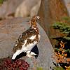 Willow ptarmigan fall plumage #3
