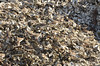 """At the Bluffton Oyster Company, Bluffton, SC<br /> <br />  <a href=""""http://www.blufftonoyster.com/"""">http://www.blufftonoyster.com/</a><br /> <br /> Semi-Palmated Plovers on the pile of recently shucked oyster shells.<br /> <br /> How many birds can you find in this photo?"""