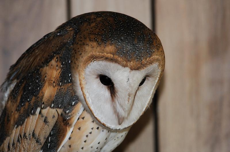 Barn owl in the office of Wildbird Center,Indio.