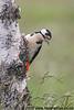Great Spotted Woodpecker on Silver Birch